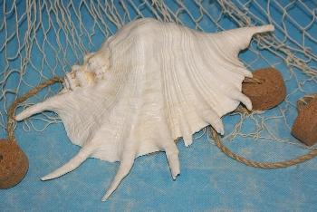 Lambis trungata ab 22,5 cm