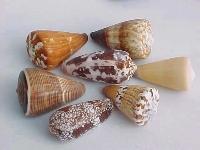 Conus Mix 10f.sortiert ca. 5-7 cm