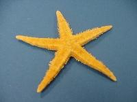 Seestern flach klein bis 7 cm Archaster angulatus