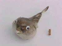 Papageifisch ca. 15 cm mit Hänger