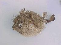 Igelfisch 15-17 cm