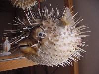 Igelfisch 20-22,5 cm
