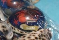 Tigermuschel mit Poly Amrum ca. 7 cm