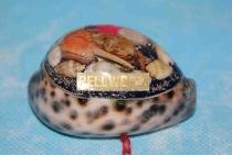 Tigermuschel mit Pellworm ca. 7 cm