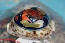 Tigermuschel mit Hiddensee ca. 7 cm