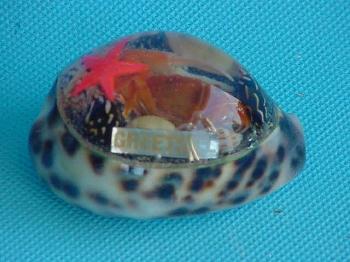 Tigermuschel mit Greetsiel ca. 7 cm