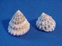 Troca small KG ca. 1,5 cm
