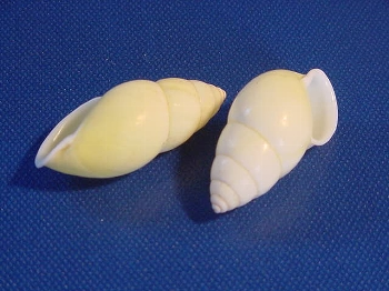 Lefthanded yellow snail ca. 4,5 cm +