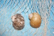 Pomacea insularum ca. 5-6 cm